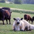 Eine Herde Galloway-Rinder, weißes Kalb im Vordergrund