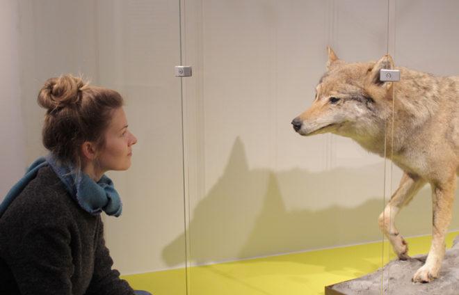 Besucherin schaut sich einen ausgestopften Wolf an