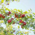 Ein Ast mit roten Äpfeln